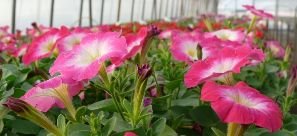 totoki-flower