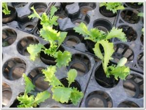 レタスを11月頭に栽培開始