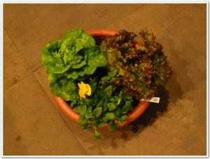 マノアとサニーレタスを家庭で栽培
