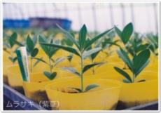 紫草(ムラサキ)の苗