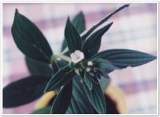 紫草(ムラサキ)の花