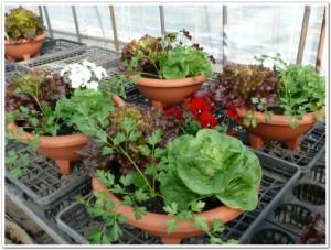 野菜やハーブを食卓で栽培