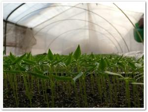 ミニナスをハウス栽培