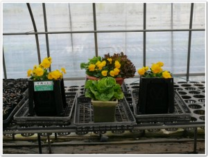 十時の土と再生土で栽培実験