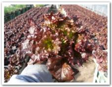 サニーレタスを栽培