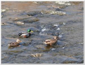 豊後大野市千歳の鴨たち