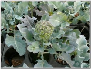 育苗ポットでブロッコリー栽培中