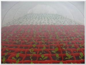 ミニナス栽培しています。