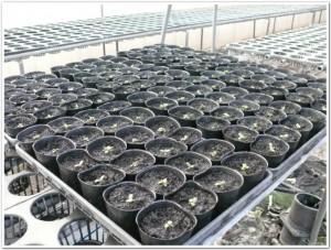 2011年2月の紫草を栽培