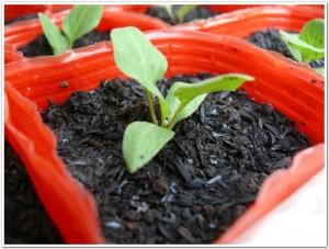 2011-eggplant