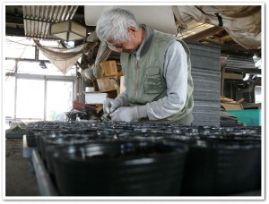 紫草の移植作業中