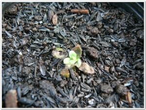 紫草を栽培し新しい芽が出る