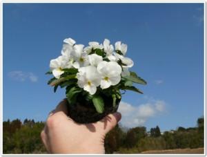 よく咲くスミレをポットで栽培