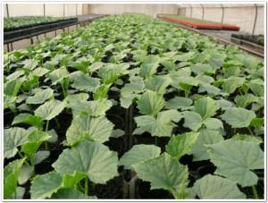 ポット栽培のキュウリ苗成長中です。