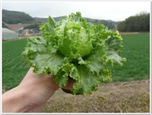 育苗ポットで栽培中のレタス
