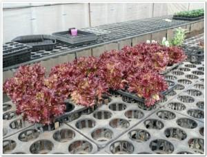 3月サニーレタスを育苗ポットで栽培