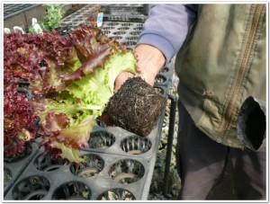 ポット栽培でサニーレタスの根を見る