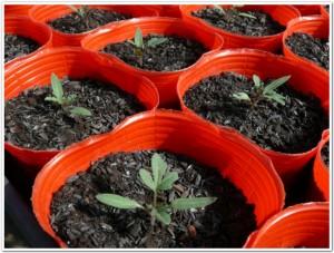 育苗ポットで力強く育つトマトを栽培
