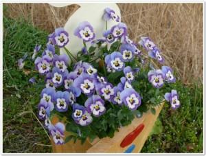 よく咲くスミレをペットボトルプランターで栽培