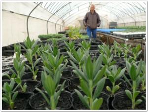 2011春の紫草栽培
