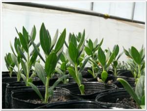 2011年春の4月紫草を栽培