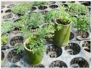 からしなを竹プランターで栽培