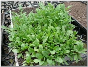 ふだん草と水菜を栽培中