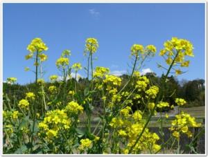 自然に生える菜の花