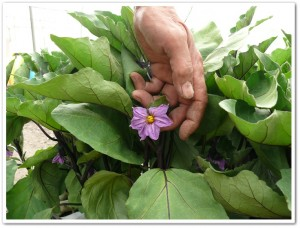 ナス苗の花