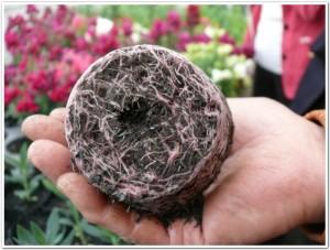 紫草の根、紫根を観察