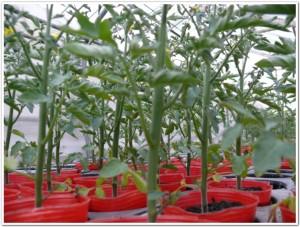 トマト苗の森