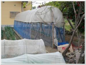 トマトを栽培する工夫
