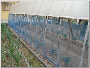トマトをご家庭で栽培