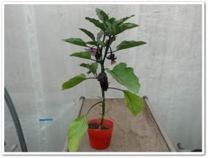 ミニナスをポット栽培