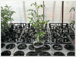 ミニトマトを育苗ポットで栽培