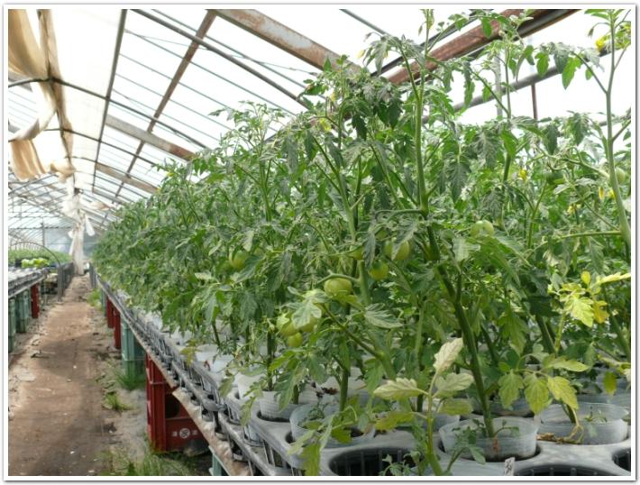 ポット栽培でミニトマト