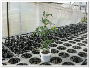 ポット栽培のミニトマトに実がついた