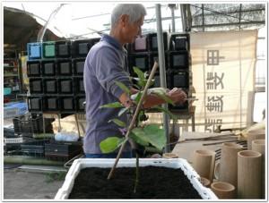 さし枝をナスの苗にさす