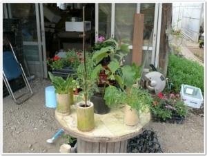 竹プランターでミニトマト栽培