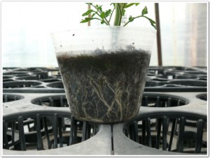 根の動きが見えるミニトマト