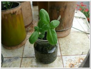 ジュムの空き瓶でバジル栽培