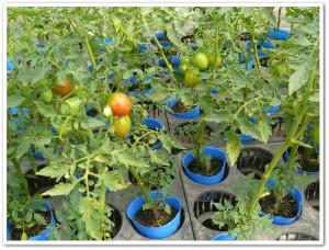 フルーツトマトのポット栽培