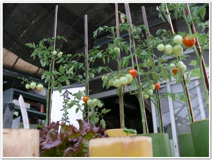 食卓を彩るミニトマトを栽培中