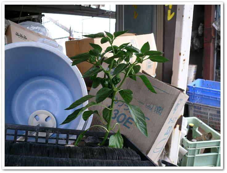 ポット栽培でピーマンの実がついてきた