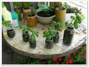 食卓菜園で栽培するバジル