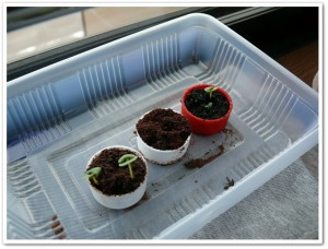 伊藤園さんのキャップで野菜を栽培