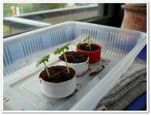 伊藤園さんのキャップで野菜栽培