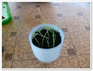 伊藤園の野菜栽培セットのネギ