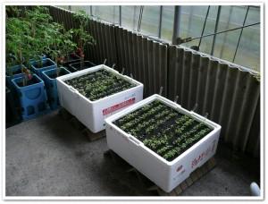 発泡スチロールプランター栽培