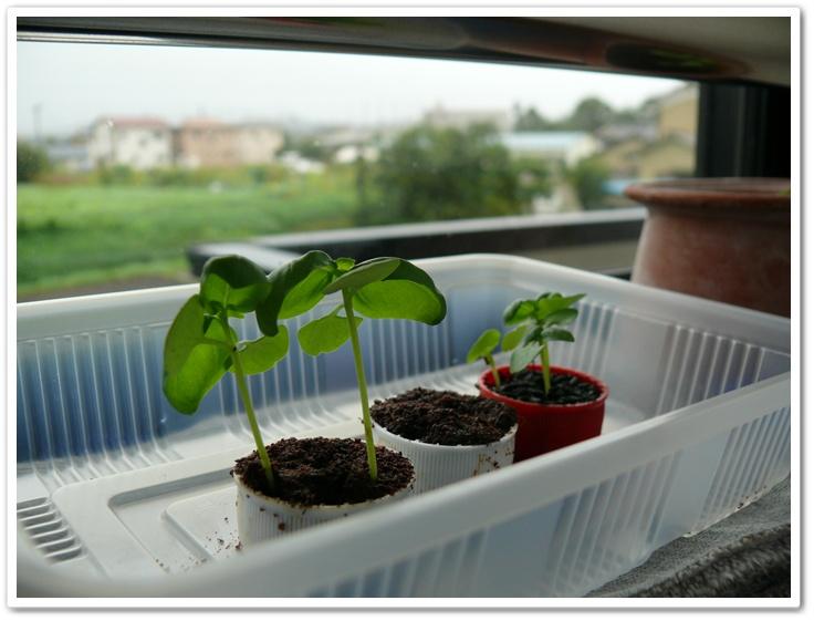 伊藤園の野菜栽培セットのその後2